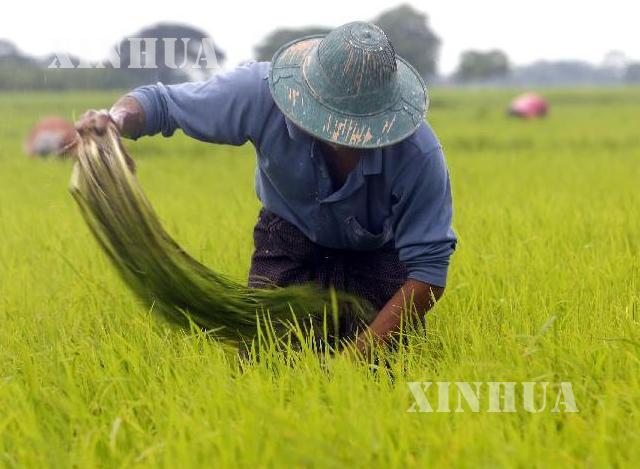 စပါးစိုက်ပျိုးနေသော လယ်သမား တစ်ဦးအား တွေ့ရစဉ် (ဆင်ဟွာ)