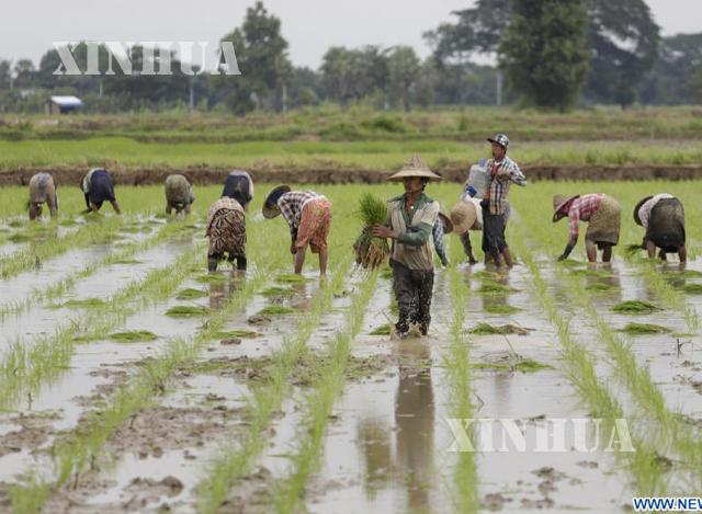 တောင်သူ လယ်သမားများ စပါး စိုက်ပျိုးမှုအား တွေ့ရစဉ်(ဆင်ဟွာ)