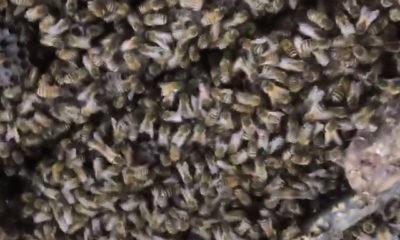 အေဆာက္အအံုတစ္ခုတြင္ ပ်ားအံုစြဲေနသည္ကို ေတြ႕ရစဥ္ (ဓာတ္ပံု-အင္တာနက္)