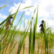 လယ်စိုက်နေသည့် တောင်သူတချို့အားတွေ့ရစဉ် (ဆင်ဟွာ)