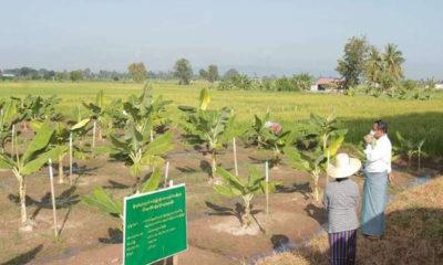သုတေသနပြုလုပ်လျက်ရှိသော ငှက်ပျောစိုက်ခင်းအားတာဝန်ရှိသူများမှ ကြည့်ရှုနေစဉ် (ဓာတ်ပုံ-- စိုက်ပျိုးရေး၊မွေးမြူရေး နှင့် ဆည်မြောင်းဝန်ကြီးဌာန)