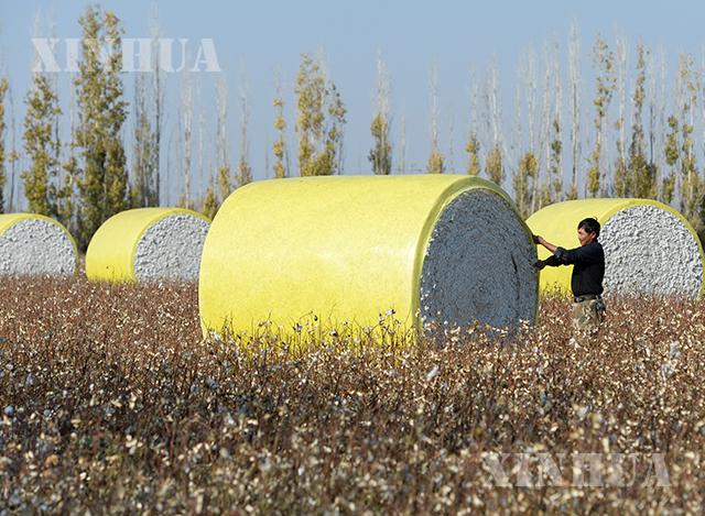 တရုတ်နိုင်ငံ ရှင်းကျန်းဒေသ မာနာ့စစ်ခရိုင်ရှိ ကျေးရွာတစ်ရွာတွင် ဝါဂွမ်းရိတ်သိမ်း၍ စက်ရုံသို့ ပို့ဆောင်နေသည်ကို အောက်တိုဘာ ၁၇ ရက်က တွေ့ရစဉ်(ဆင်ဟွာ)