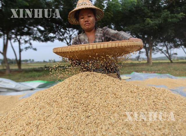 ပြည်တွင်း၌ စပါးများအား အခြောက်ခံ၊သန့်စင်နေသော လုပ်သားတစ်ဦးအား တွေ့ရစဉ်(ဓာတ်ပုံ-ဆင်ဟွာ)