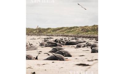 နယူးဇီလန်နိုင်ငံ Chathamကျွန်းတွင် သောင်တင်သေဆုံးနေသော လမ်းကြောင်းပြ ဝေလငါးများအား နိုဝင်ဘာ ၂၄ ရက်က တွေ့ရစဉ်(ဆင်ဟွာ)