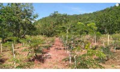 အထူးစိမ်းလန်းစိုပြည်ရေးစိုက်ခင်းတစ်ခုအားတွေ့ရစဉ် (ဓာတ်ပုံ--သစ်တောဦးစီးဌာန)