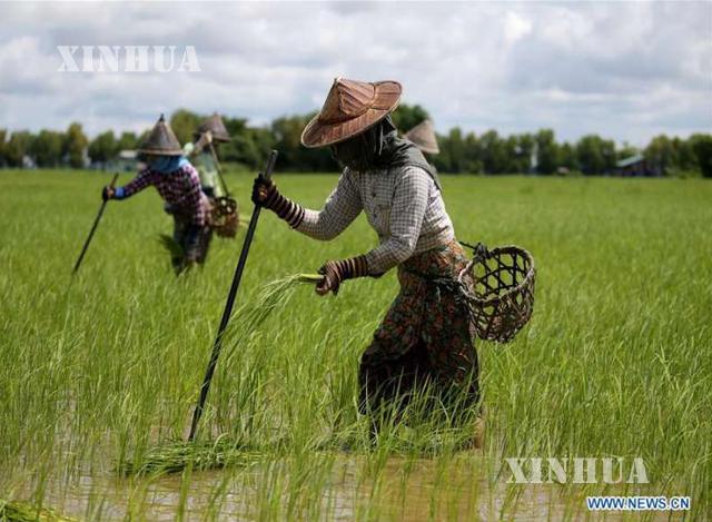 ကောက်စိုက်နေသည့် လယ်သူမများအားတွေ့ရစဉ် (ဆင်ဟွာ)