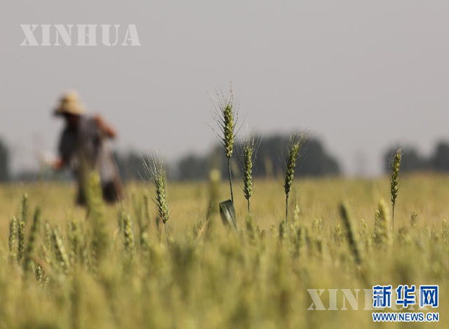 တရုတ်နိုင်ငံ ဟဲနန်ပြည်နယ် ကျေးရွာတစ်ခုရှိ ဂျုံစိုက်ခင်းတွင် တောင်သူတစ်ဦး လုပ်ငန်းဆောင်ရွက်နေသည်ကို မြင်တွေ့ရစဉ် (ဆင်ဟွာ)